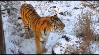 Феноменальная дружба тигра Амура и козла Тимура в Приморском Сафари-парке